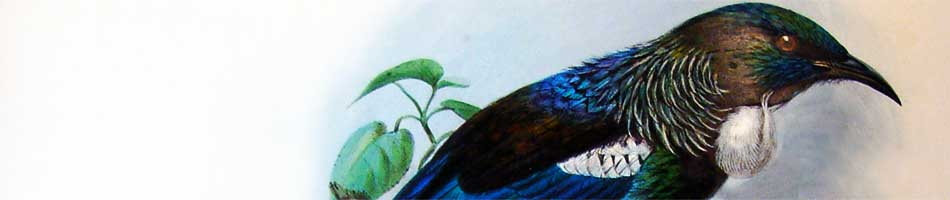 Tui or Parson Bird Prosthemadera Novae Zealandiae. From: 'A history of the birds of New Zealand' by Walter Lawry Buller